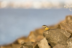 Lizard on the rocks... (Pablin79) Tags: water nature river light rock animals rocks animal colors details little blur sunny wildlife outdoors lizard wild daylight afternoon reptile argentina misiones posadas dof