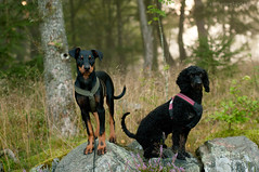 (Niightwalker) Tags: nature woods forest sweden green nikon d90 pinscher dog poodle