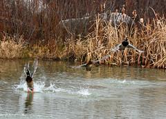 Shy Mallards at the pond (ctberney) Tags: mallards ducks birds flying scared pond water