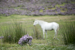That thyme of year (Ian@NZFlickr) Tags: sorry about puns it is nature maothers fault thyme horse white central otago nz