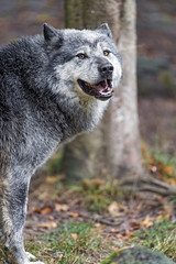 Smiling timberwolf (Tambako the Jaguar) Tags: standing portrait smiling forest wolf canine canid gray black timberwolf canadian parcanimalier saintecroix park parc rhodes zoo france nikon d5