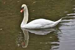 Canon246838 (godrudy6661) Tags: neworleans citypark sculpturegarden swan