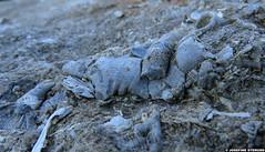 20150703_12 Brokeback Fossil in limestone | Hgklint, Gotland, Sweden (ratexla) Tags: ratexlasgotlandtrip2015 gotland 3jul2015 2015 canonpowershotsx50hs hgklint sweden sverige scandinavia scandinavian europe beautiful earth tellus photophotospicturepicturesimageimagesfotofotonbildbilder europaeuropean summer travel travelling traveling norden nordiccountries roadtrip journey vacation holiday semester resaresor landscape nature fossil fossils pentaptych dead corpse death dd dda djur animals animal biology zoology fossiler limestone beach rock rocks stone kalksten dden ontheroad sommar macro makro favorite