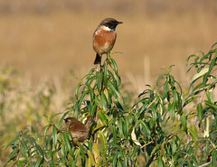 Stonechat & Wren (Peanut1371) Tags: stonechat wren birds chat nationalgeographicwildlife