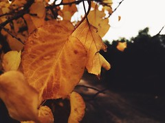 #warm #yellow #nice #flickr #orange #leafs (osamamalkawi) Tags: warm yellow nice flickr orange leafs