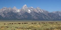 IMG_9318 Bison in Jackson Hole (cmsheehyjr) Tags: cmsheehy colemansheehy nature wildlife bison buffalo jacksonhole antelopeflats tetons grandtetonnationalpark wyoming scenery
