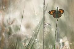 Meadow Brown (Maniola jurtina, bruin zandoogje) (Rob Blanken) Tags: sun reflection butterfly dew bruinzandoogje meadowbrown maniolajurtina nikond810 bruinzandoogjemaniolajurtina sigma180mm128apomacrodghsm