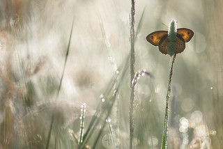 Meadow Brown (Maniola jurtina, bruin zandoogje)