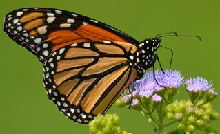 7334e2  Monarch on ageratum