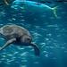 No place to hide (nosha) Tags: ocean blue sea seascape beautiful beauty turtle wildlife mahimahi