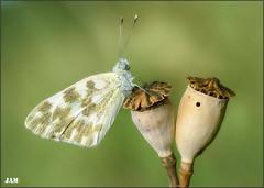 La casa del buho (- JAM -) Tags: naturaleza flower macro nature insect nikon flor explore jam mariposas d800 insecto macrofotografia explored lepidopteros juanadradas