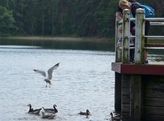 Feeding of aquatic birds (EilaK: Visit my nice galleries too!) Tags: barnaclegoose brantaleucopsis vuosaari kallahti