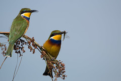 Blue-breasted bee-eaters (Niquinho) Tags: uganda