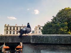 Parisian City Doves (Pigeons) are eating seeds together. Paris. France. (Valérie_de_Paris) Tags: city paris france eating pigeons seeds together parisian doves
