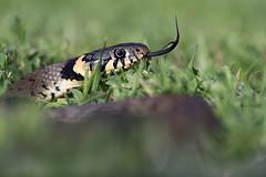 Grass Snake (Natrix Natrix) (Dave Hunt Photography) Tags: grasssnake natrixnatrix