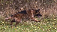 Jay taking off (julie.johnson931) Tags: dog pet grass freedom outdoor longhair running gsd germanshepherddog coth coth5