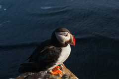 Close - Iceland, Latrabjarg (Nomadic Vision Photography) Tags: travel summer nature iceland europe scenic puffin westfjords birdcliff jonreid latrabjarg tinareid nomadicvisioncom