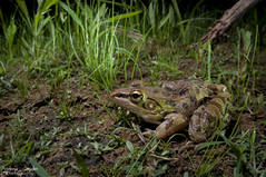 Southern leopard frog (Andrew Snyder Photography) Tags: mississippi frog leopard rana southernleopardfrog sigma15mm lithobatessphenocephala nikond300s andrewmsnyder