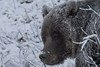 Grizzly Bear (lance4lechner) Tags: winter snow face closeup grizzlybear