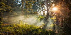 Beauty from Ashes (ShutterJack) Tags: morning camping mountain fern tree nature pine forest dawn twilight nikon floor pacific smoke summit rays dogwood goldenhour crepuscular sanbernardino treadlightly angellight jameshale jimhale shutterjack
