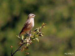 DSCN9109-002 (MCAPKIN71) Tags: macro bird nature animal outdoor trkiye anatolia emet ku ornito hayvan doa anadolu ktahya tahtal yeniceky