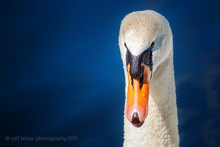 Swan 2011