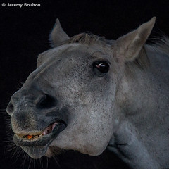 Snuck an Extra Carrot (JKmedia) Tags: horse face animal nose grain domestic grainy equine mane lowsaturation stabled boultonphotography