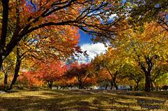 Autumn in Hunza (Shehzaad Maroof Khan) Tags: hunza autumn garden yellow red orange royal karimabad gilgitbaltistan karakoram snow mountain baltit nature pakistan