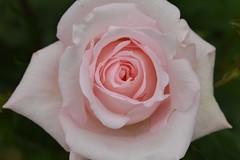 Rose 'Marchen konigin' raised in Germany (naruo0720) Tags: rose germanrose marchenkonigin kordes    germanrosecollection