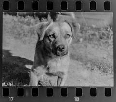 Kutyu (zsolesz_93) Tags: outdoor debrecen hungary fomapan bw blackandwhite dog cute fomapan400 border