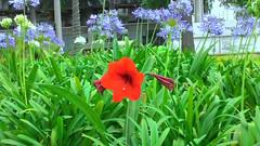 Flores da primavera (Jos Argemiro) Tags: blue red flores flower verde green primavera garden spring jardim springflowers redflower blueflower florvermelha florazul