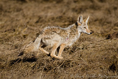 On the run! (Arizphotodude) Tags: coyote wild arizona nature nikon wildlife sigma running wiley preserve riparian naturephotography 150500