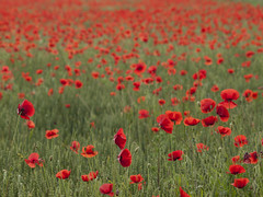 Partager la joie et le chagrin *-*--+° (Titole) Tags: poppies field titole nicolefaton red green many friendlychallenges 15challengeswinner perpetual