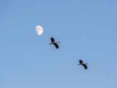 Next to the Moon (giansacca) Tags: sky moon birds animals lune aves luna uccelli ciel cielo animaux animali vogel oiseaux racconigi lipu centrocicogne associazionecentrocicogneeanatidi