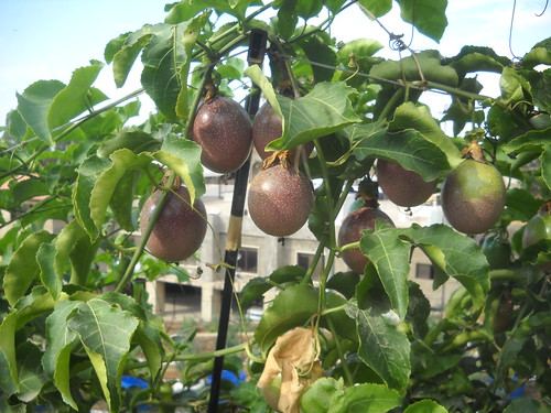 Passion Fruit Ripe Large Fruit and qty a Oct 12, 2015