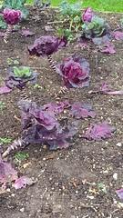 Colourful brassicas, Kingston Lacy (DorsetBelle) Tags: vegetables gardens purple kingston dorset lacy nationaltrust kingstonlacy nationaltrustgardens brassicas kitchengardens
