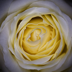 Golden heart (Laph95) Tags: white flower macro nature fleur rose yellow jaune plante close shade blanche tone nuance