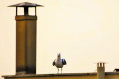 gabbiano romano (***Riccardo***) Tags: seagull gaviota gabbiano mouette gaivota