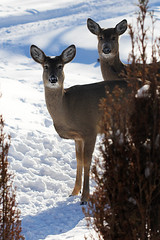 Deer outside my window (stephaniehehn) Tags: winter nature wildlife deer beginnerdigitalphotographychallengewinner