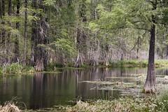 Swamp at Breaux Bridge (fantommst) Tags: bridge trees usa lake reflection st parish louisiana martin bald lisa swamp wetlands cypress breaux ridings taxodium fantommst