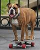 One Eyed Skateboarding Bulldog (Yer Photo Xpression) Tags: dog bulldog skateboard oldeenglishbulldog canonef35350mmf3556lusm canoneos40d ronmayhew