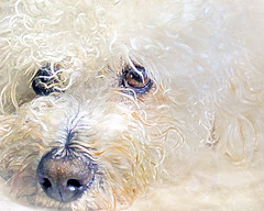 bosco (Hal Halli....happy everything!!) Tags: dog pet cute love puppy poodle innocence cockapoo coth sharingart littledoglaughedstories littledoglaughednoiret