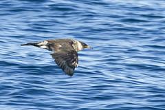 Pomarine Jaeger (christopheradler) Tags: california jaeger pelagic pomarine stercorarius pomarinus