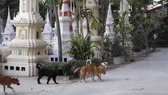 Ubon Ratchathani - Thailand (jcbkk1956) Tags: dogs thailand temple buddhist samsung buddhism pack ubonratchathani templegrounds wb100