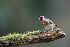 La branche magique (Jacques GUILLE) Tags: 09 arige cardueliscarduelis chardonneretlgant domainedesoiseaux europeangoldfinch fringillids mazres passriformes bird oiseau