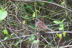 White-throated Sparrow (Zonotrichia albicollis) (JohanNilsson) Tags: whitethroatedsparrow zonotrichiaalbicollis