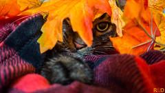Fall Foliage (danielledufour430) Tags: cat halloween autumn orange red playful animal pets feline face eye hide seasonal cute