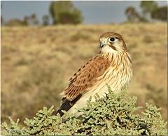 Nankeen Kestral (HPVD Photos) Tags: nankeenkestral falcocenchroides birds native wildlife canon 1250s f56 iso100 fl50mm tbtw 1100hs