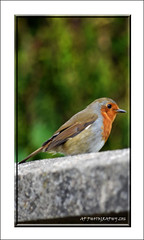 Robin (prendergasttony) Tags: elements bird nature outdoors wildlife nikon d7200 robin