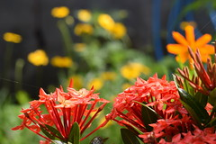 DSC_0066 (Kelson Souza) Tags: flor flores primavera flower flowers natureza beleza jardim jardinagem garden gardens colorido floricultura petalas ptalas florescer